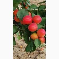 Саженцы абрикоса французская селекция; приция, цунами, рубиста, фаралия, примайя, фарлис
