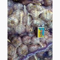 Продам чеснок, посадочный материал, луковицы-зубки первой репродукции