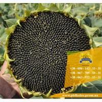 Якісне насіння від виробника ПБФ «Колос»