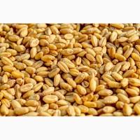 Продам Пшеница кормовая, по России и на экспорт