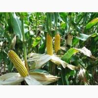 Агро-Ритм: Гибрид кукурузы Манифик