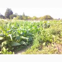 Табак Вирджиния Голд нарезан лапша 1-2мм ферментированный.30 СОРТОВ