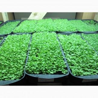 Табак Вирджиния Голд семена, есть нарезан лапша 1-2мм ферментированный