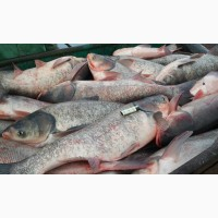 Продам толстолоба 5- 10 кг, сом обычный 10+-20 кг, карп судака