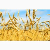 Куплю пшеницю фуражну та класну