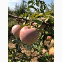 Продам яблоки сорт Джонатан, Айдаред, Голден