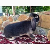 Продам кроликов Французкий баран