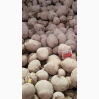 Продам картофель для столовых и на переработку