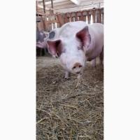 Свиньи на мясо Дюрок + Пьетрен / 10 голов