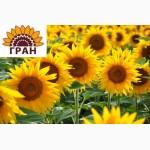 Науково-виробнича фірма «ГРАН» пропонує соняшникове насіння класичного гібриду «Олівер»