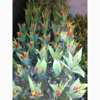 Тюльпаны, гиацинты, крокусы и другие цветы оптом к 8 марта и 14 февраля