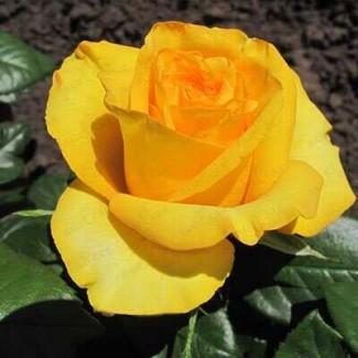 Продажа саженце роз, закрытая корневая