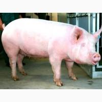 Закуповуємо свиноматок