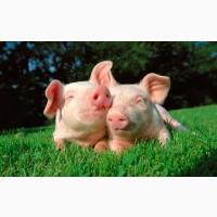 Купуємо свиней