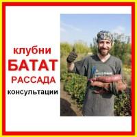 Сеженцы батата опт/розница