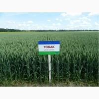 Продам насіння озимої пшениці Тобак (Saaten Union)