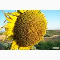 Семена подсолнечника Ясон, Форвад, Бонд, Рембо, Тиса, Сержан, Феликс, НС-2063