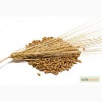 Закупаем пшеницу, ячмень ДОРОГО