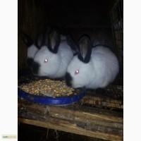 Продам кролей разных пород