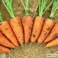 Продам семена морковки, Одеская обл, Измаил