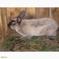 Продам кролей породы Рекс