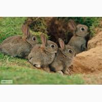 Продам диких австралийских кроликов
