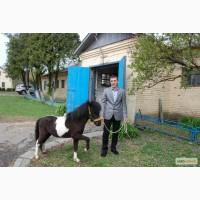 Продаж молодняку поні