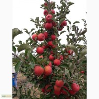 Продам яблоки Ред принц, Чемпион, Флорина, Декоста, Пинова