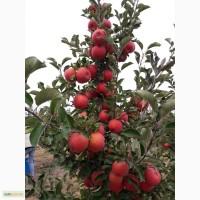 Продам яблоки Ерли Женева, Слава Победителям, Чемпион, Флорина, Декоста, Пинова