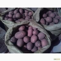 Картопля БЕЛА РОСА