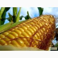 Продам гібрид кукурудзи Солонянський 298 СВ