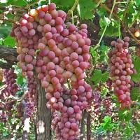 Саженцы винограда кишмиш сорт Ред Флейм