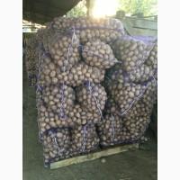 Продам семенной картофель, сорт Агата