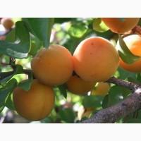 Абрикос Персиковый| продажа саженцев плодовых деревьев в Украине