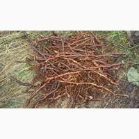 Маточный корень ремонтантной ежевики прайм арк фридом