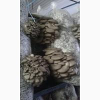 Продам гриби Гливи