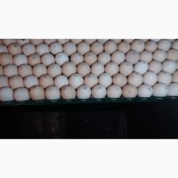 Куплю яйця інкубаційні