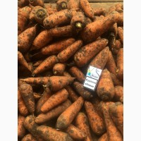 Продам морковь Red Core (шантане)