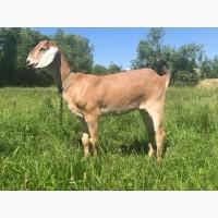 Продам нубійських та зааненських кіз