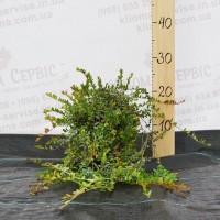 Продам саджанці журавлини 1, 2 річні (Ховес, Бен Лір, Бергман, Стівенс)