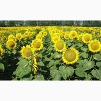 Реализуем семена подсолнечника Базальт