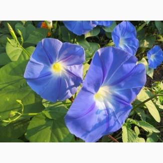 Продам семена Ипомея Небесно-синяя