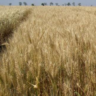 Продам насіння озимоі пшениці сорт Пандія