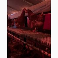 Продам яйця курячі вільний вигул, домашнє отримання