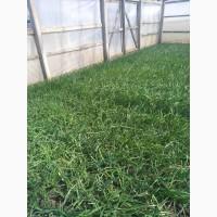 Продам зелену цибулю (перо) домашня з теплиці