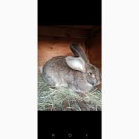 Продам кроликов Бургундия, Калифорния, Фландр