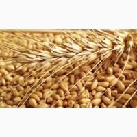Куплю пшеницу на экспорт 50000 тонн СИФ 240$, CIF 240$