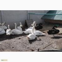 Домашні лебеді на вибір