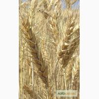 Продаем семена чешской яровой пшеницы сорт Аранка, 1 репродукция