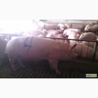 Продаж Свиноматок